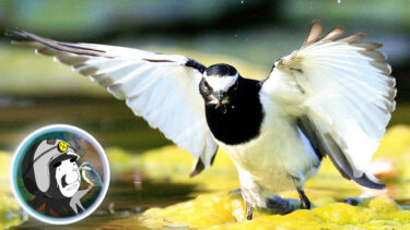 セグロセキレイ。日本を救った伝説の鳥!偉大なる神々の大先生の秘密!
