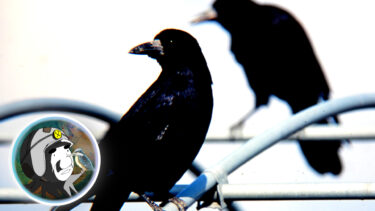 ミヤマガラスの鼻毛がすごい?野鳥の会支部長が鼻毛の秘密を暴露する