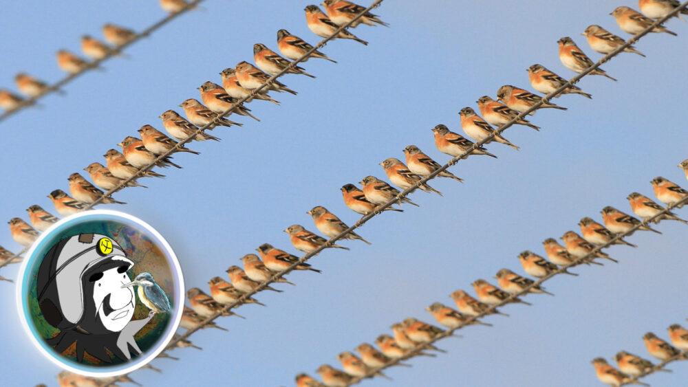アトリの群れ。徳島県小松島市