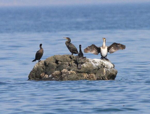 羽を広げて乾かすウミウ(右)と、ヒメウ(左端)・鳴門ボラ山海岸
