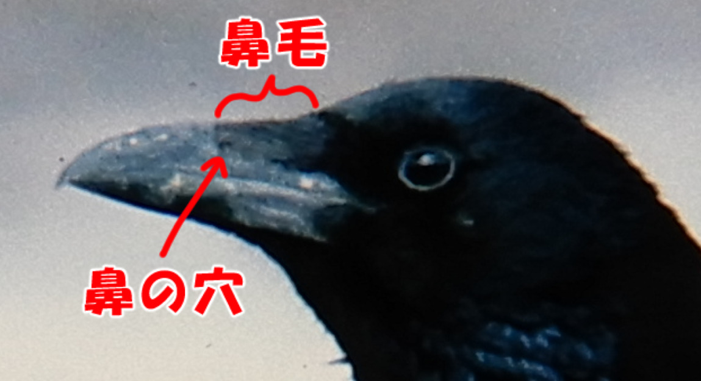 ミヤマガラス。鼻毛。徳島県。