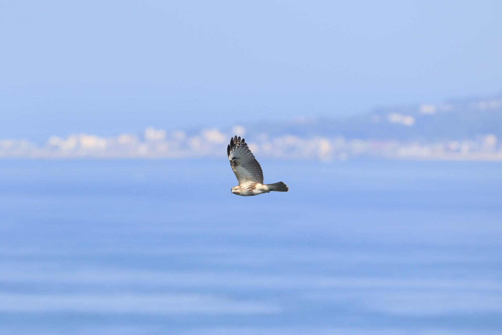 ノスリ。幼鳥、鳴門山