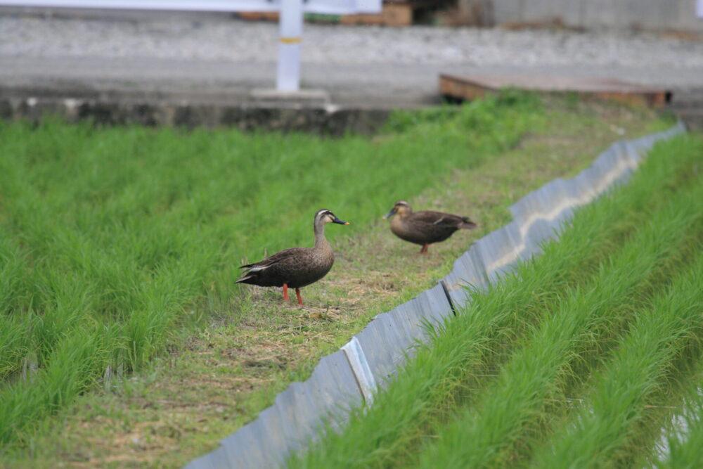 カルガモ。徳島県。