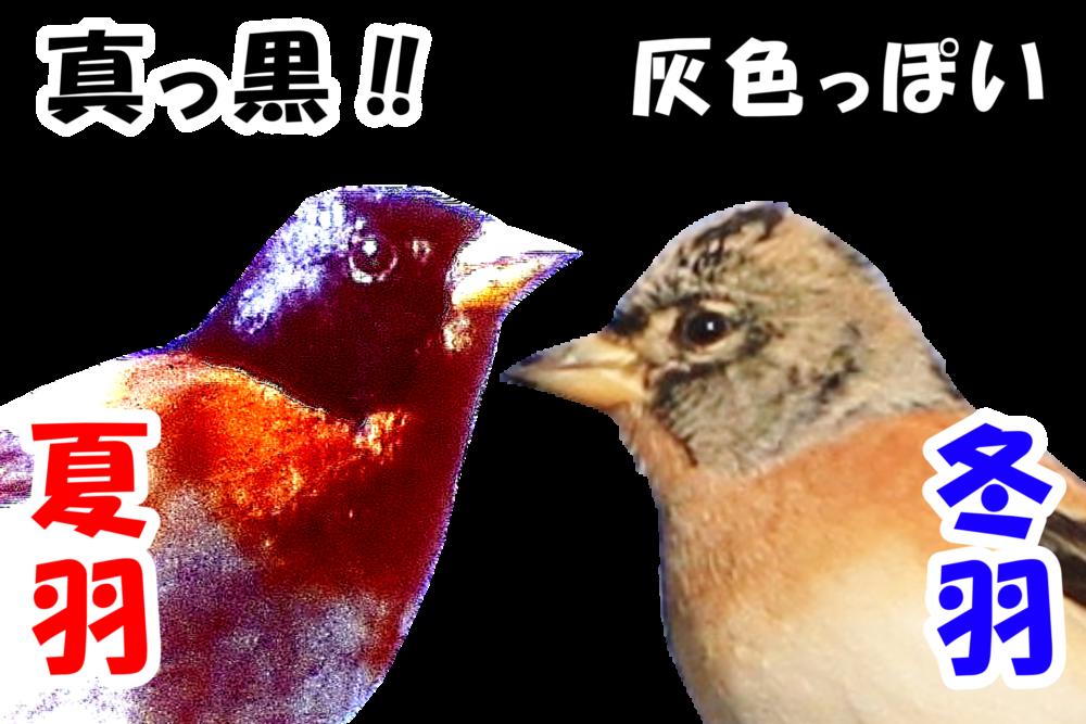 アトリの冬羽と夏羽の比較画像。