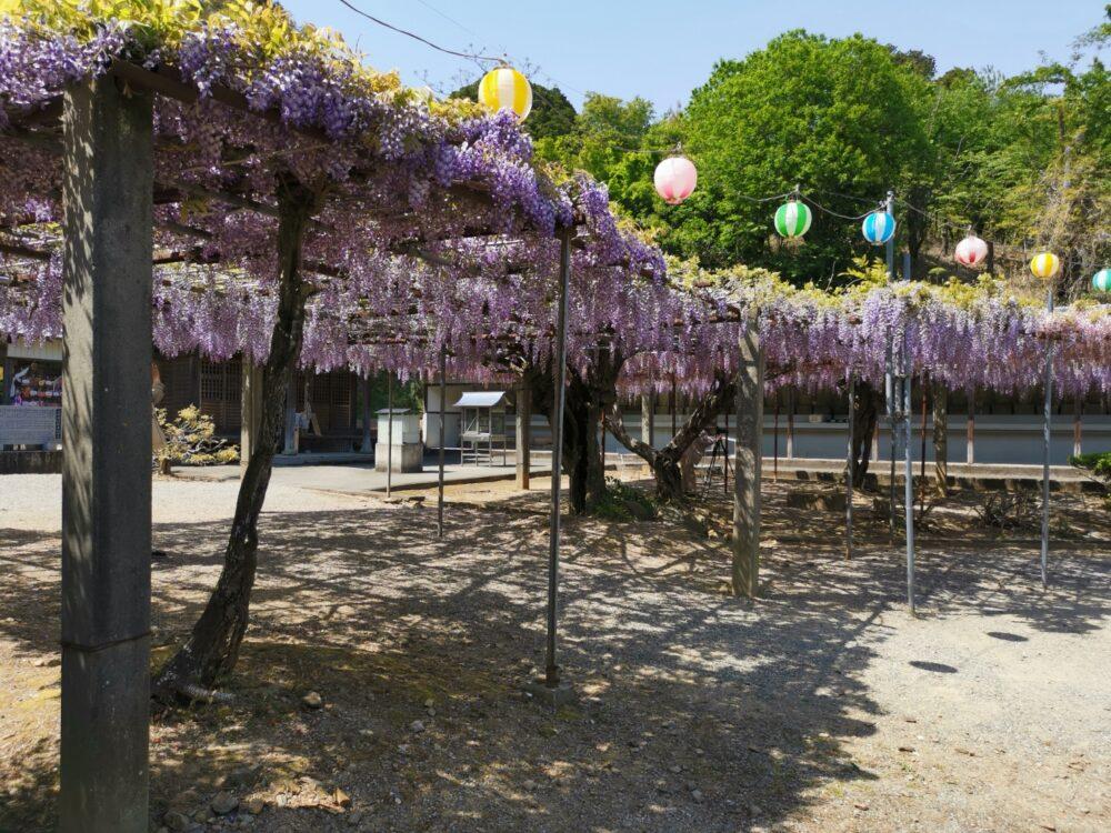 童学寺の藤棚