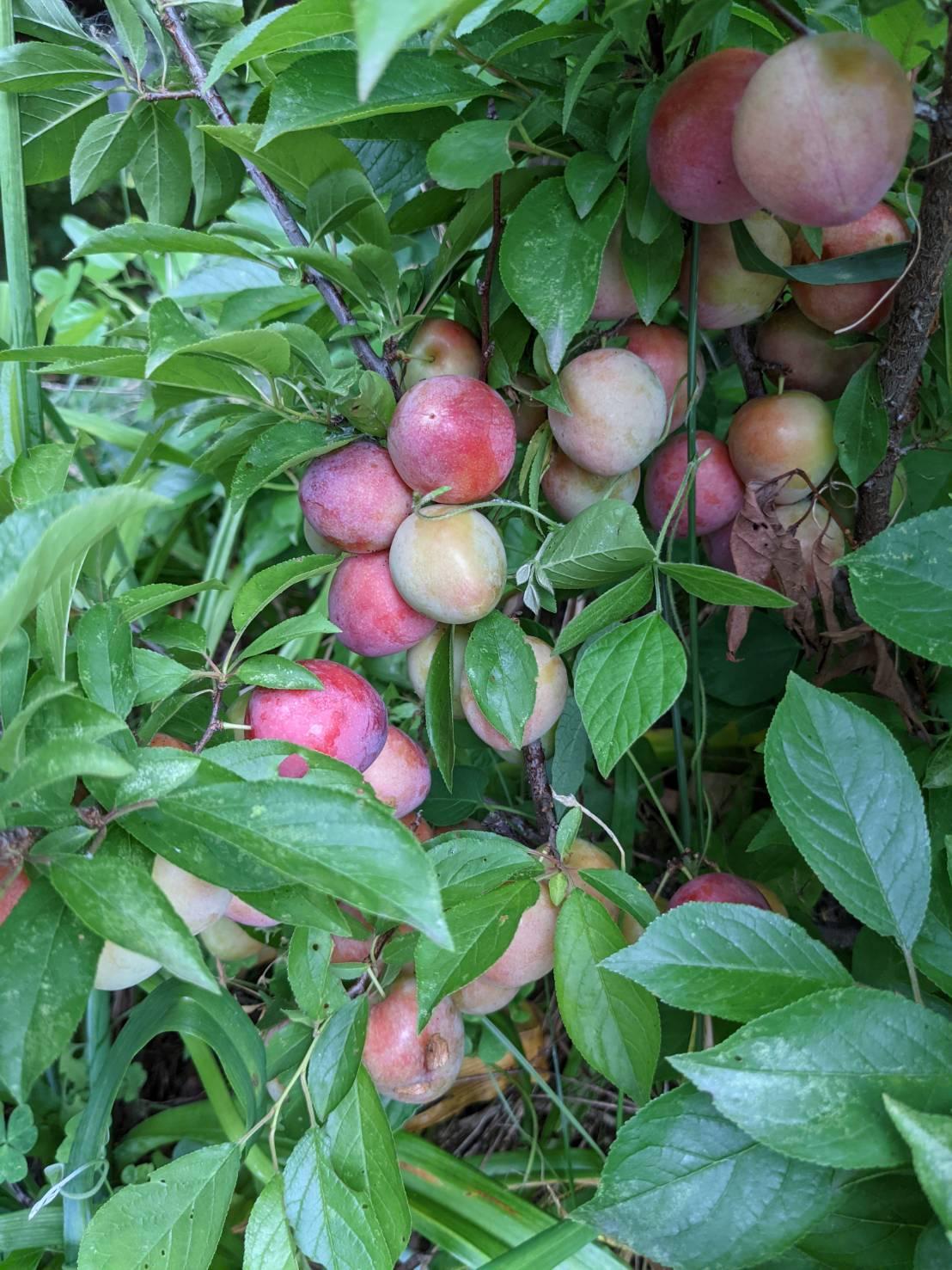 スモモの木を下から見ると…!撮影ハハクラゲ。