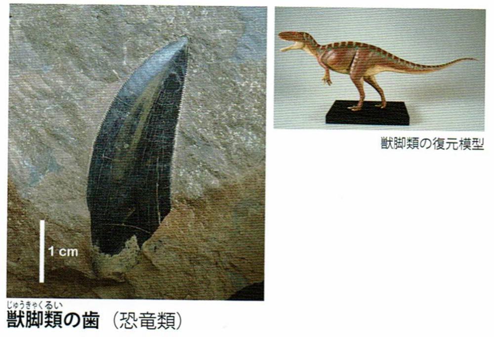 アロサウルス類の歯