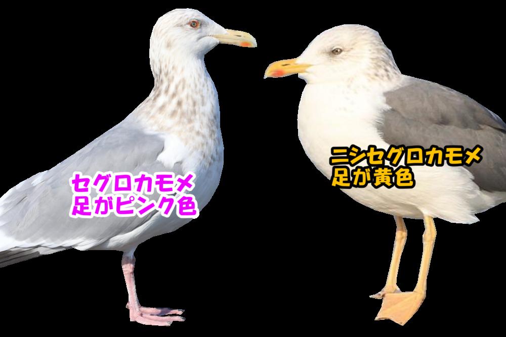 セグロカモメ(左)は足がピンク色。ニシセグロカモメ(右)は足が黄色