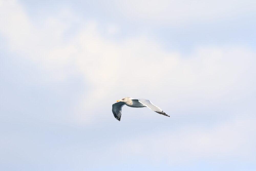 羽ばたくセグロカモメ