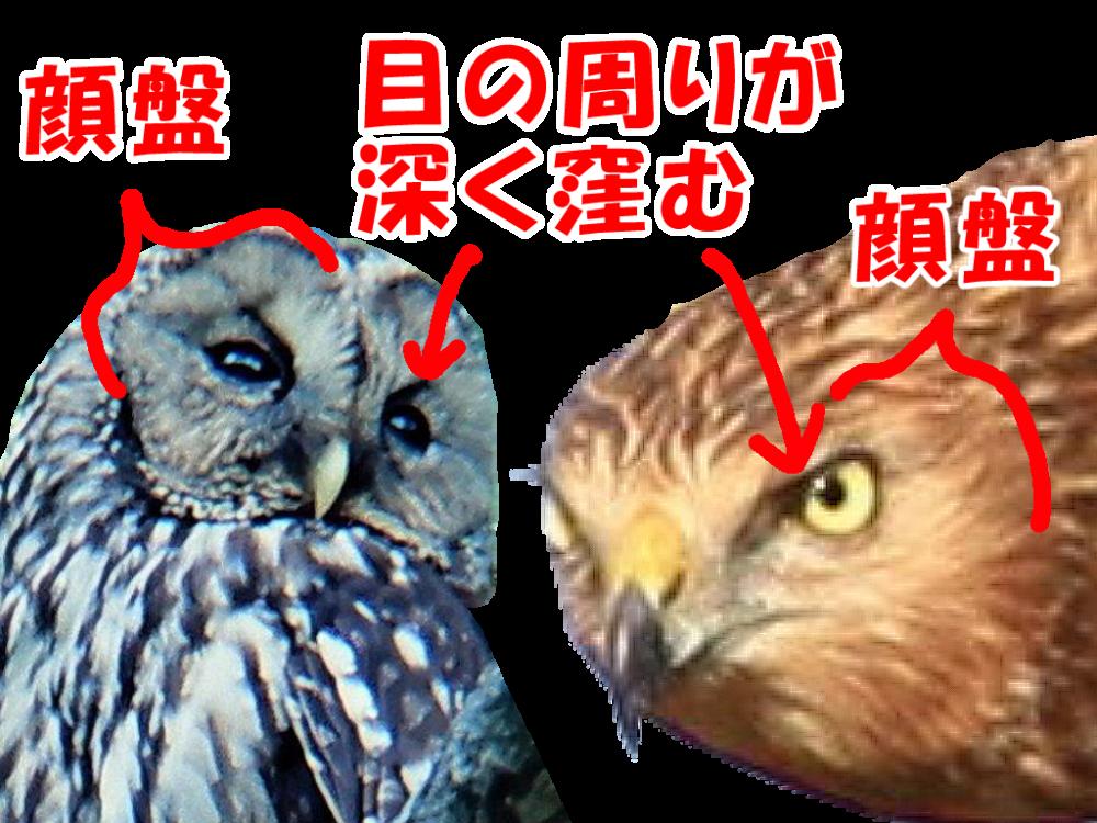 フクロウとチュウヒの比較。