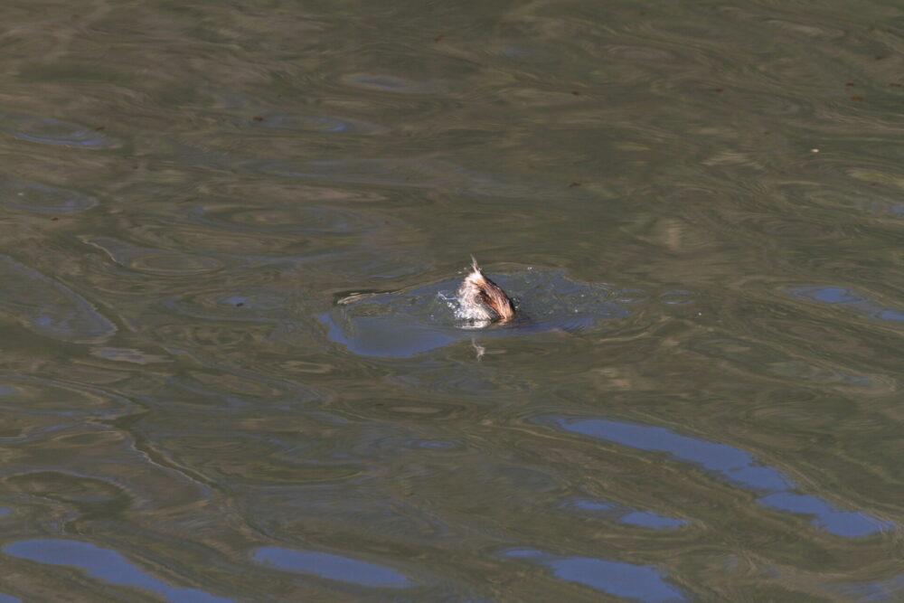 カイツブリの潜水の瞬間。徳島県川内町米津