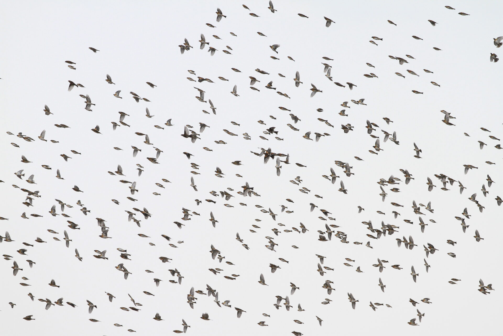 アトリの群れ。徳島県。