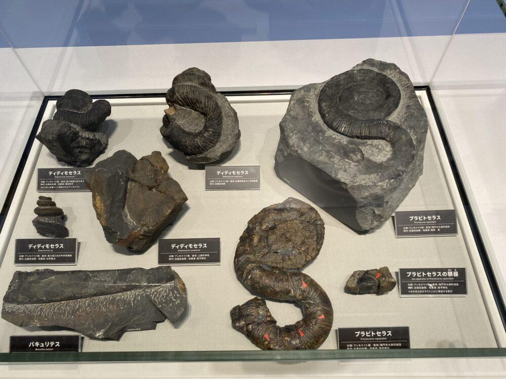 プラビトセラス(アンモナイト類)などの化石。撮影ヲヲクラゲ。