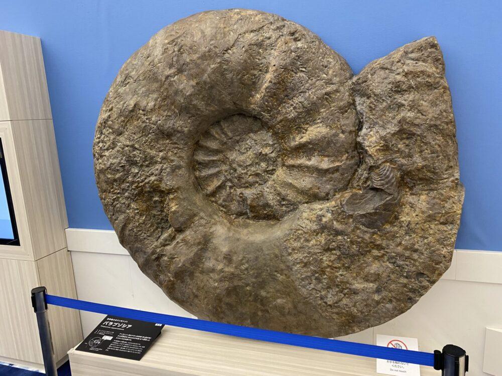 世界最大のアンモナイト「パラプゾシア」が飾られています。直径1.8m
