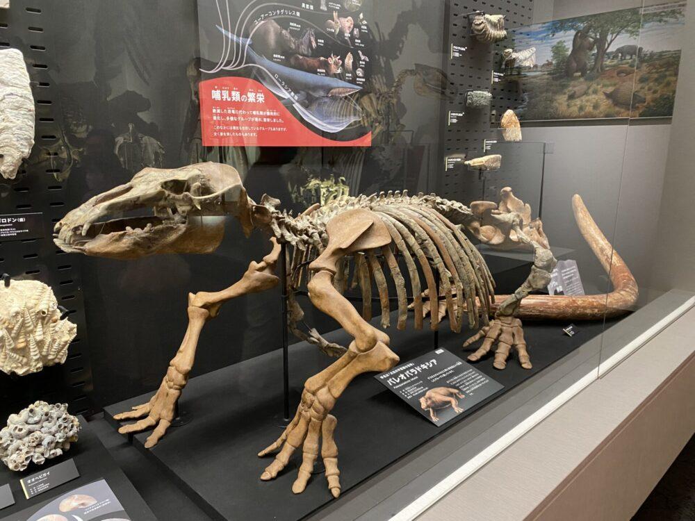 パレオパラドキシア。約1,300万年前に絶滅した束柱目の哺乳類。学名の由来は「古代の不思議なもの」。