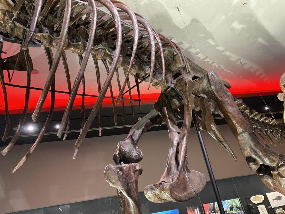 ティラノサウルスの下半身。撮影ヲヲクラゲ。