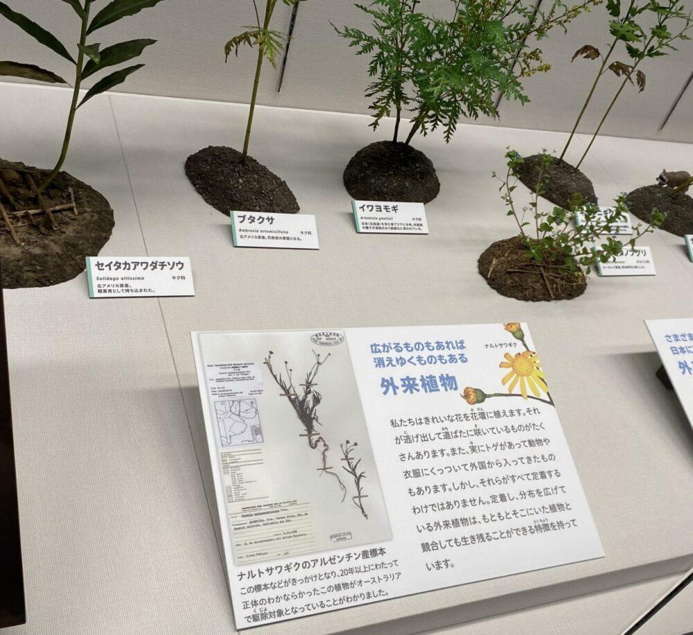 外来植物。撮影ヲヲクラゲ。