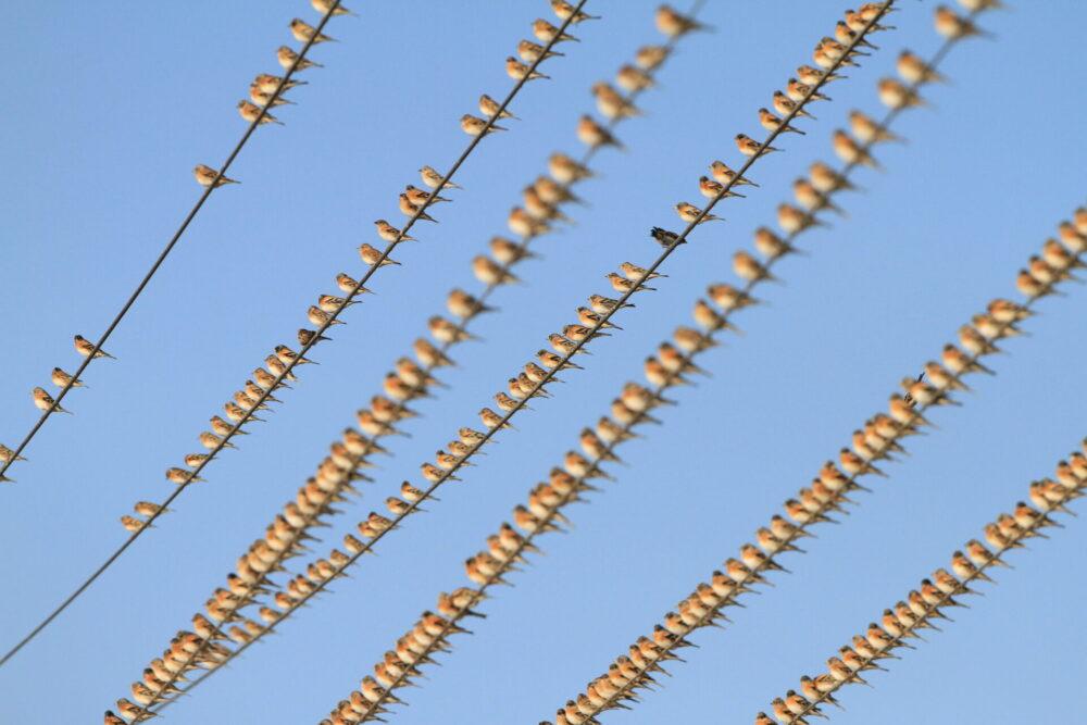 アトリの群れ。小松島小芝生町。