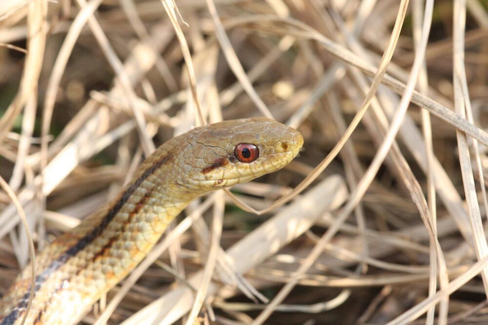 カルガモの天敵シマヘビ