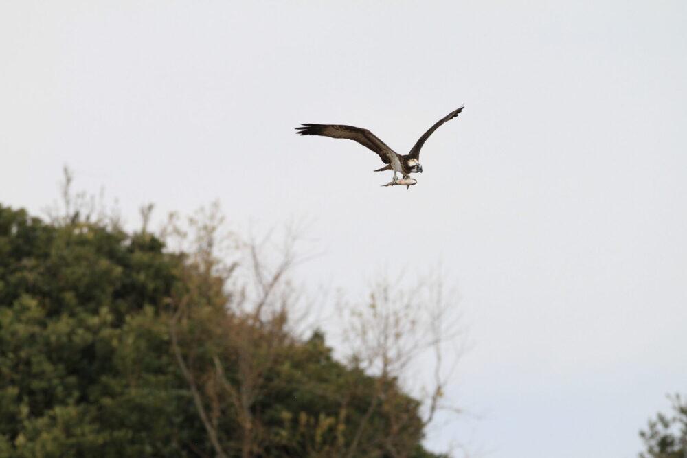 ミサゴ♀(ボラをつかむ)・出島野鳥園