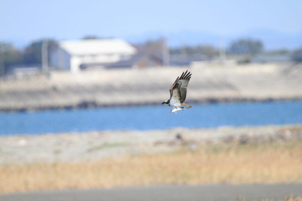 ミサゴ(大きなボラを運ぶ)・吉野川河口
