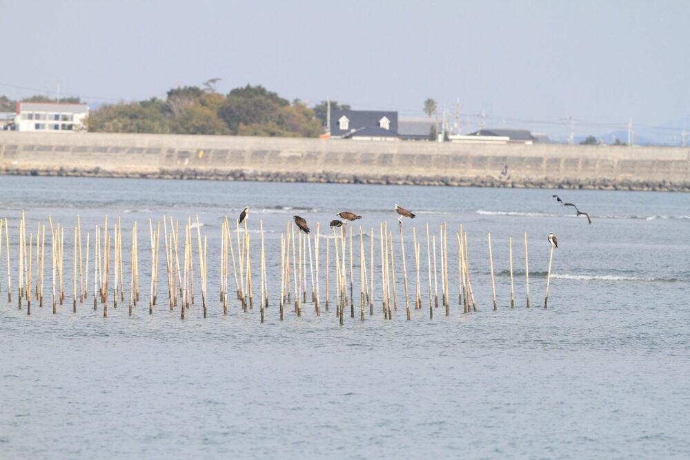 ミサゴ・吉野川河口
