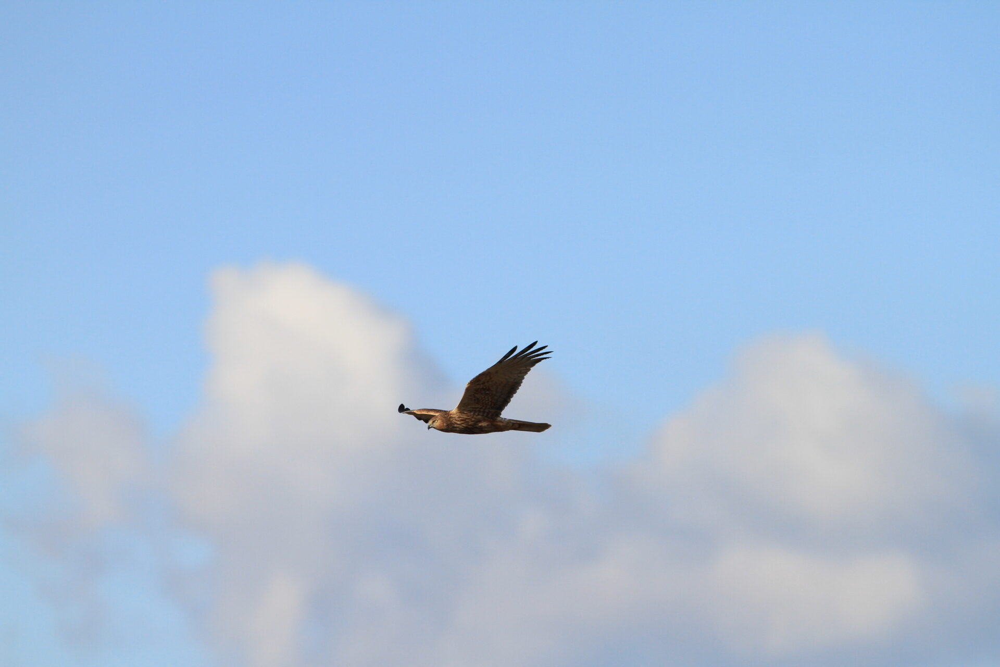 チュウヒ♂。成鳥。出島野鳥園。